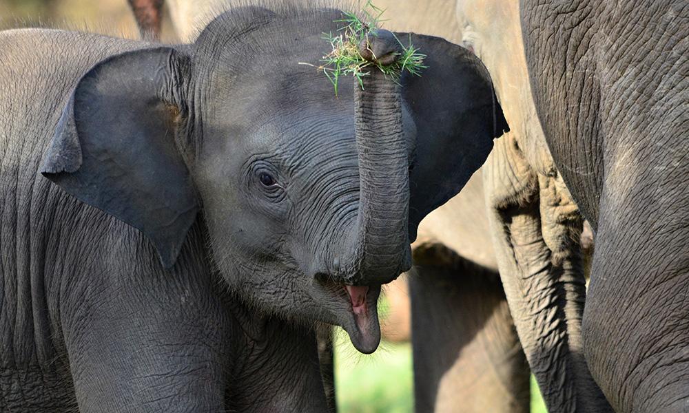 Minneriy-Elefant-Sri-Lanka-Steib-Pur-Reisen