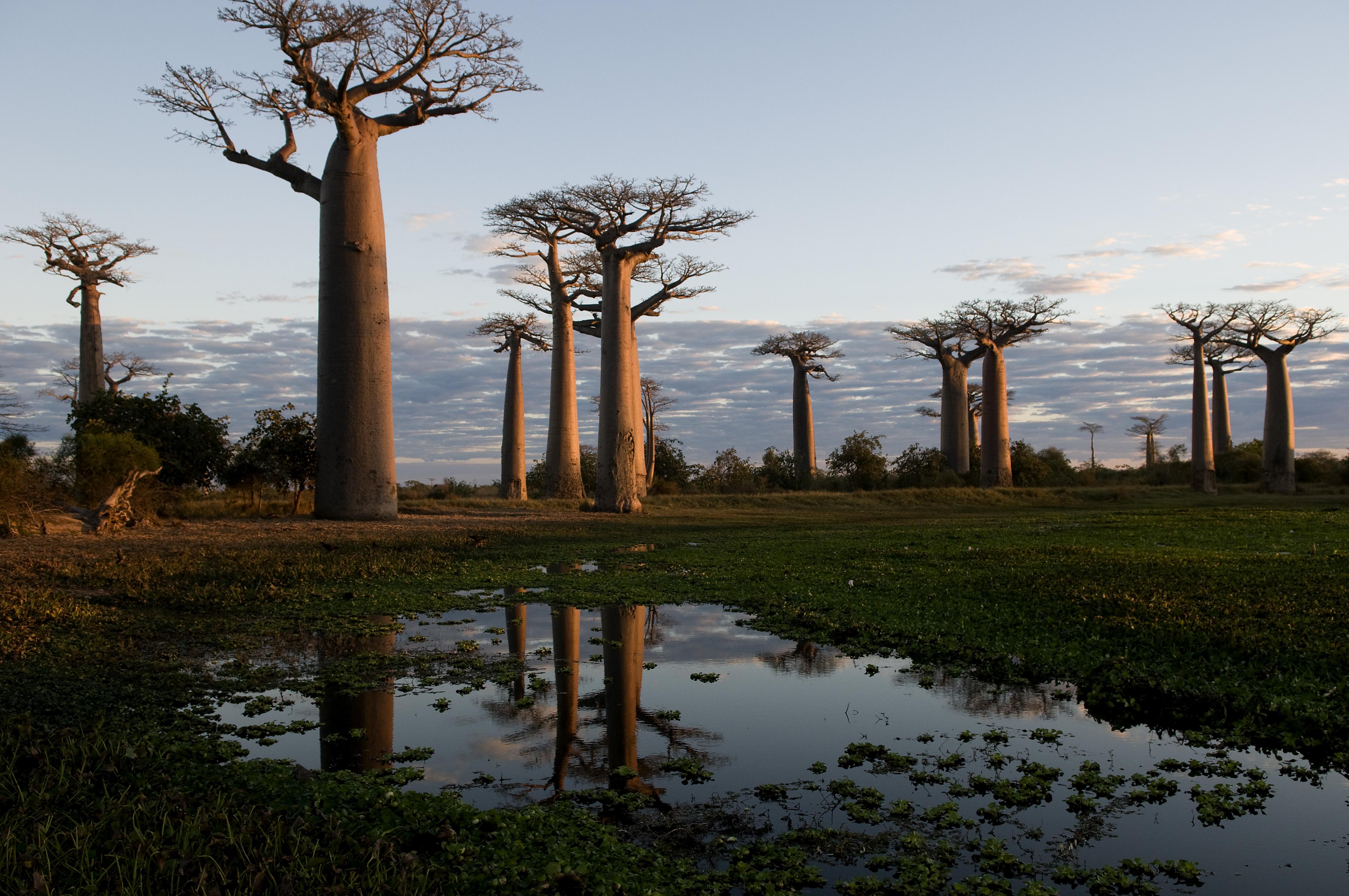 Die-beruehmte-Allee-von-Baobabs - Madagaskar- Steib-Pur-Reisen