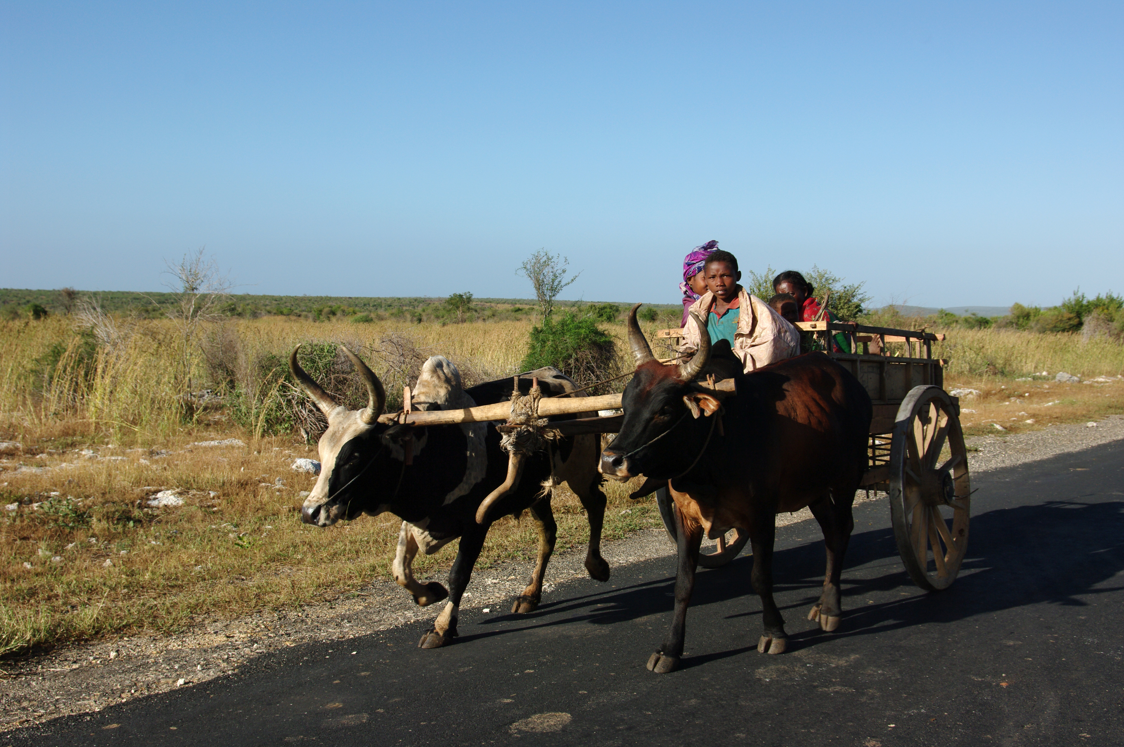 Ochsenkarren-als-Transport - Madagaskar- Steib-Pur-Reisen