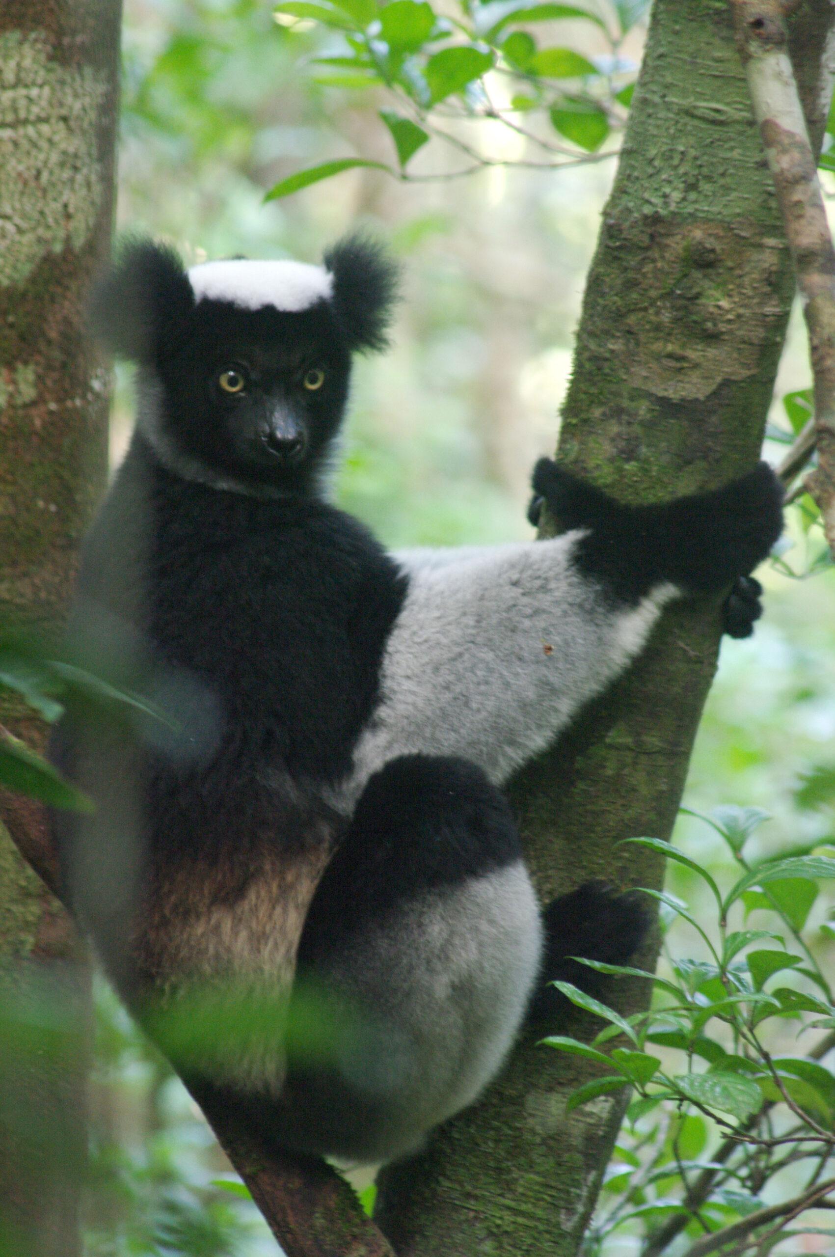 Der-groesste-Lemur-Madagaskars - Steib-Pur-Reisen