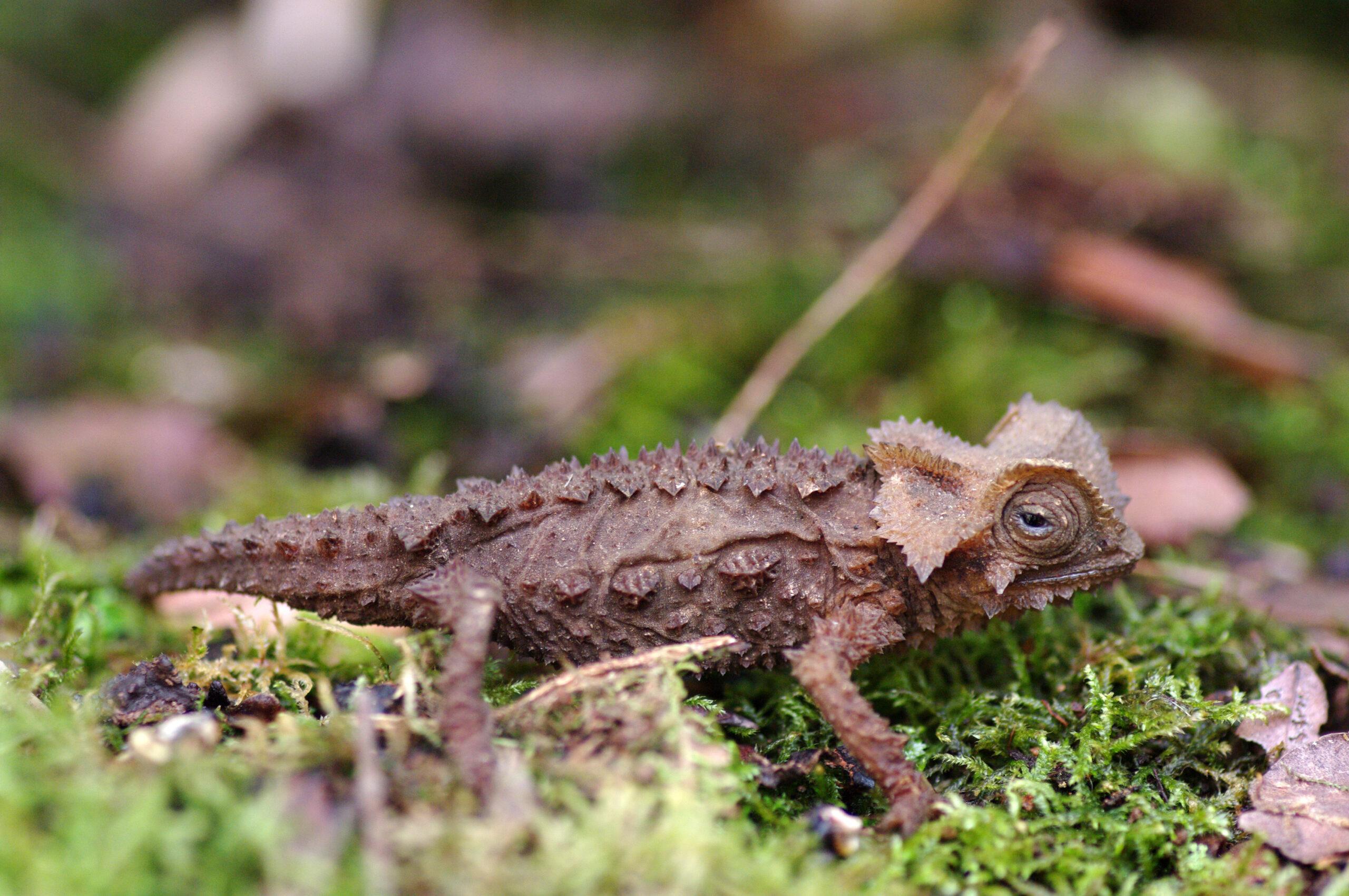 das-seltene-chameleon-Madagaskars - Steib-Pur-Reisen